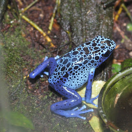 Little Blue Frog by Richard Crosier - Animals Amphibians ( nature, blue, wildlife, landscapes, frogs )