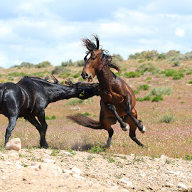 Big Boys by Bryant  Aardema - Animals Horses ( mammals, wild animal, wild, animals, nature image, desert, wildlife photography, horses, horse, wildlife, spring, mammal, wild horses, wild horse, wilderness, stallions, nature, utah, wild stallions, wildlife image, nature photography, fighting, west, animal )