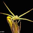 Crab spider - female
