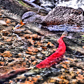 Duck and Kokanee by Don Mann - Animals Fish