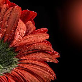 by Rakesh Syal - Flowers Single Flower