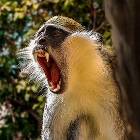See my teeth by Mauritz Janeke - Animals Other Mammals ( anmilas, canines, vervet monkey, mauritz, lrcc, teeth, monkey )