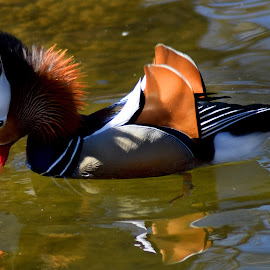 Ruffled Mandarin by Shawn Thomas - Animals Birds ( water, fowl, majestic, duck, wildlife )
