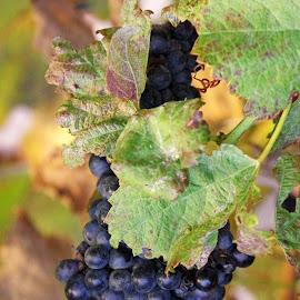 Fruit of the vine by Ingrid Anderson-Riley - Food & Drink Fruits & Vegetables