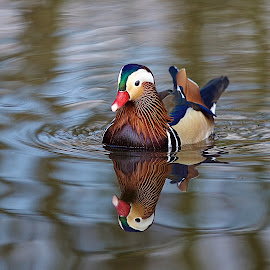 Male Mandarin Duck by David Patterson - Animals Birds ( reflection, color, duck, bird, water,  )