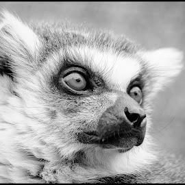 Ring Tailed Lemur by Dave Lipchen - Black & White Animals ( ring tailed lemur )