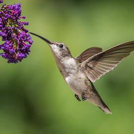 Good Stuff Right There by Roy Walter - Animals Birds ( bird, hummingbird, wildlife, garden, animal )