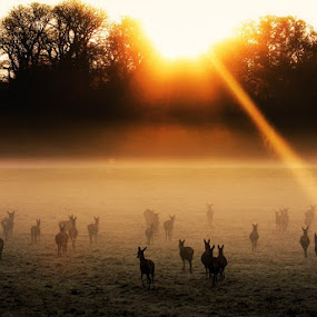 Deer Gathering in Windsor by Anthony D'Angio - Animals Other Mammals ( windsor, dawn, game, woods, deer, deerhunter, mist )