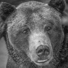 grizz II by Michael Connor - Animals Other Mammals ( grizzly, bear, black and white, furry, mammal )
