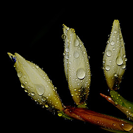 by Carmen Quesada - Nature Up Close Natural Waterdrops ( tiny, black background, plants, nature up close, wtaerdrops )