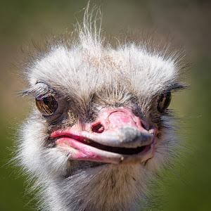 Ostrich-2.jpg