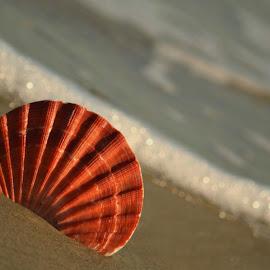 Seashell on shoreline by Rhonda Kay - Nature Up Close Sand