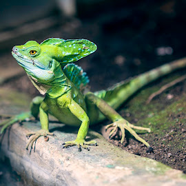 Lizard by Pankaj Brijlani - Animals Reptiles ( lizard, costarica )