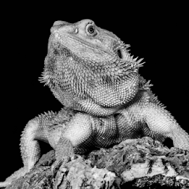 Bearded dragon by Garry Chisholm - Black & White Animals ( sigma, bearded dragon, macro, nature, workshop, reptile, lizard, canon, garry chisholm )