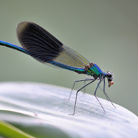 hungry by Fabio Ponzi - Animals Insects & Spiders ( macro, blue, green, eating, dragonfly, bokeh )