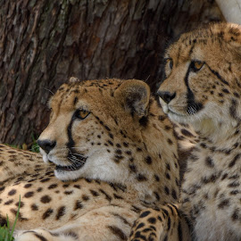 Mother and Daughter Cheetah by William Sawtell - Animals Lions, Tigers & Big Cats ( cheetah, big cats, nature, cheetah cubs, wildlife )
