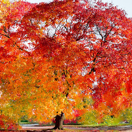 Tree on Fire by Shari Brase-Smith - Nature Up Close Trees & Bushes ( orange, red, tree, color, autumn, yellow )