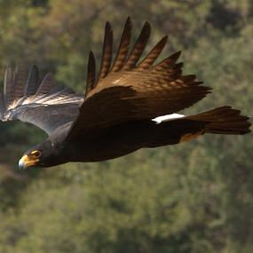 Veraux's Eagle by Lian van den Heever - Animals Birds ( flight, eagle, side, wings, verau's, beak, left, brown, view, yellow, claws,  )
