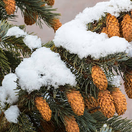Pine Cones by Bruce Arnold - Nature Up Close Trees & Bushes