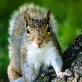 Face Off by Even Steven - Animals Other ( hello, face off, curious, critter, park, chubby, nuts, hi, cute, close up, squirrel, close )