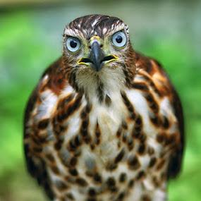 Hawk 5 by Dimas N - Animals Birds