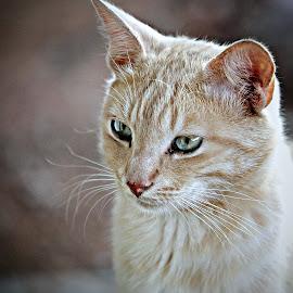 Ginger by Pieter J de Villiers - Animals - Cats Portraits