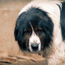 Karakachan guardian dog by Yasen Bachev - Animals - Dogs Portraits ( looking at camera, guardiann dog, domestic animals, shepherd dog )