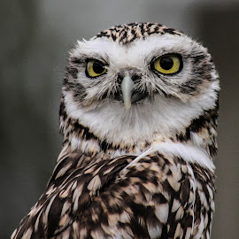 Owl by Garry Chisholm - Animals Birds ( bird, garry chisholm, nature, owl, wildlife, prey )