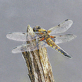 Dragonfly  by Ian Popple - Animals Insects & Spiders ( water, air, fast, dragonfly )