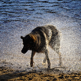 Shake It Off  by Andy Walker - Animals - Dogs Playing ( water, pet, pets, shake, lake, dog )