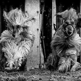 Bundles of Fluff by Paul Matthews - Animals - Dogs Running ( hairy, sand, afghans, dogs, out of the traps, racing, play, traps, dog racing, fun, hairy dog, race, running, playtime )