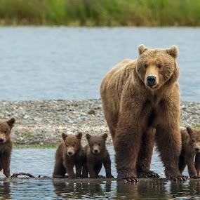 Bear Family by Scott Dere - Animals Other Mammals ( #adventuretravel, #nature, bearlife, #bears, #cubs, #alaska, #canon, #wildlife )