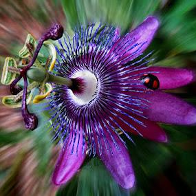 pasiflora 10 by Dunja Kolar - Flowers Flower Gardens ( pasiflora, croatia, zagreb )