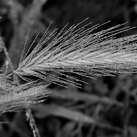 Wheat In Rain by Sarah Harding - Novices Only Flowers & Plants ( plant, wheat, outdoors, novices only, raindrops )