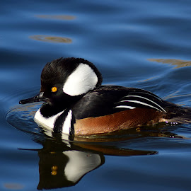 Hooded Merganser by Shawn Thomas - Animals Birds ( water, duck, wildlife, merganser, black,  )