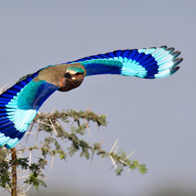 indian roller by Sathya Vagale - Animals Birds