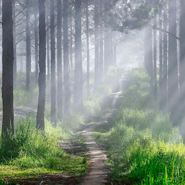 forest rays by Trang Võ - Landscapes Forests ( fog, forest, road, pine, light )