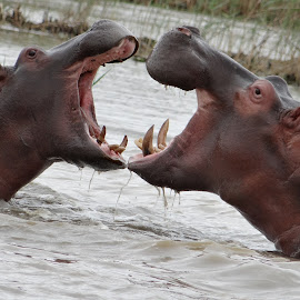 Hippos fight in South Africa by Tim Brown - Animals Other ( hippo, wilderness, nature, wild animals, durban, safari, south africa, nature close, wildlife, tourism, africa, hippo mouth to mouth )