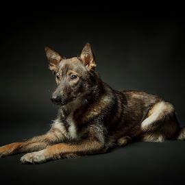 by Jerry Sjödin - Animals - Dogs Portraits ( canon, pet, dog portrait, dark background, dog, photography, portrait )