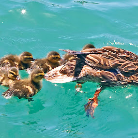 DuckFamily1 by Joanne Burke - Animals Birds