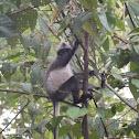Sumatran Surili