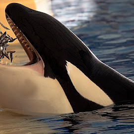 Orcinus orca by Stanley P. - Animals Sea Creatures