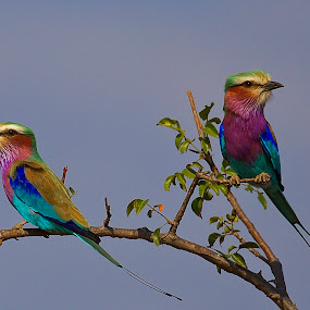 Rollers by Johann Fouche - Animals Birds ( roller, lilac breaster roller, colourful, lilac-breaster roller, birds )