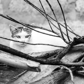 Black and white are the colors of photography. To me they symbolize the alternatives of hope and despair to which mankind is forever subjected. by Krishna Razu - Animals - Cats Portraits ( cat, black and white )