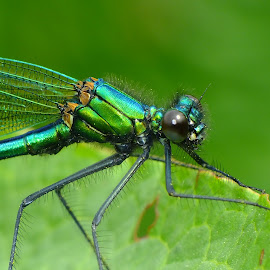 Banded Demoiselle by Pat Somers - Animals Insects & Spiders