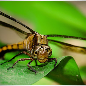 by Hamzah Photology - Animals Insects & Spiders