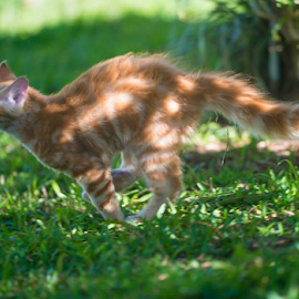 10m sprint by Annette Flottwell - Animals - Cats Playing ( gallop, gato, brinca, zorrito, marmeade, kitten, cat, jumping, tomcat, ginger, gatito,  )