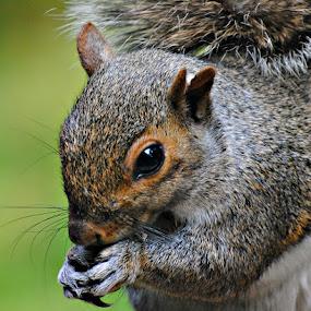 feeding time by Chris  Nickson - Animals Other Mammals