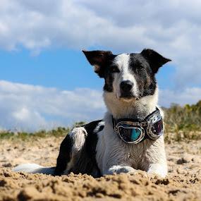 Waiting... by Ty Hanson - Animals - Dogs Portraits ( border collie, puppy, beach, cute, kida, animal )
