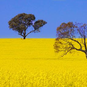 Canola Field by Peter Cannon - Landscapes Prairies, Meadows & Fields ( hills, canola, plants, meadows, yellow, landscape, colour, field, nature, color, blue, australia, trees, fields )